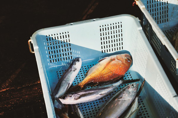 渔港里出售的即日捕获的红绸鱼及银鱼