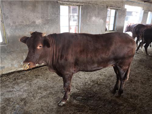 成年郏县红牛的通体呈现深红色