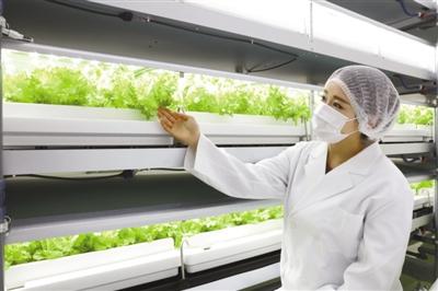"""近年来,日本掀首""""植物工厂炎""""。图为千叶县习志野市的幕张地下植物工厂,做事人员正在查望栽种的生菜。"""