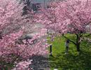 世界各地赏樱正时节
