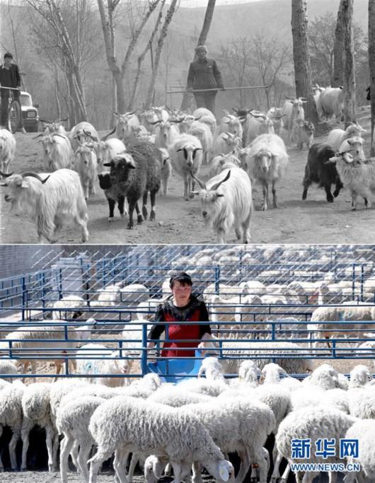 这是一张拼版照片,上图为1993年4月27日,陕西省延安市梁村乡的白生有老汉在放养自家的羊群(新华社记者陶明摄);下图为2019年4月23日,延安市安塞区化子坪镇河西沟湖羊养殖场的工作人员在喂羊(新华社记者刘潇摄)。新华社发