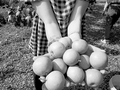 上周一场突如其来的冰雹砸伤满树梨子    沈北马泉沟果农求助:能帮忙收购一些不