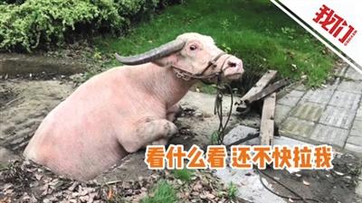 1000斤重水牛掉进井中被困 消防员借助抢险救援车吊出