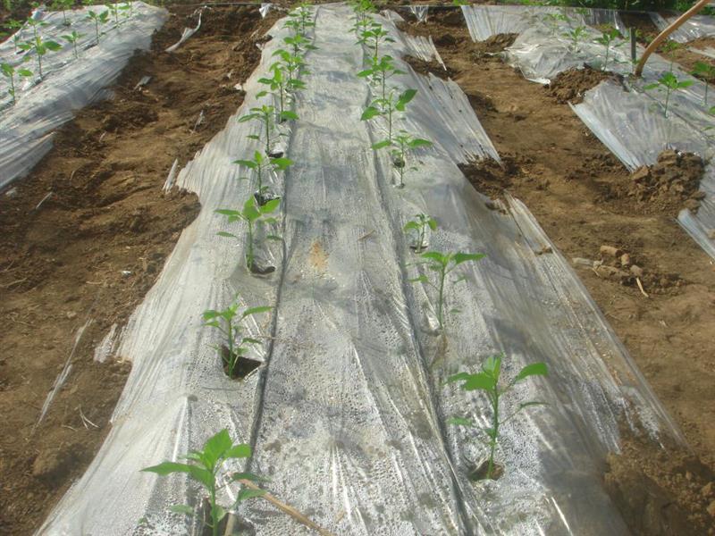 日光温室春茬果菜近期灌溉施肥管理策略推出