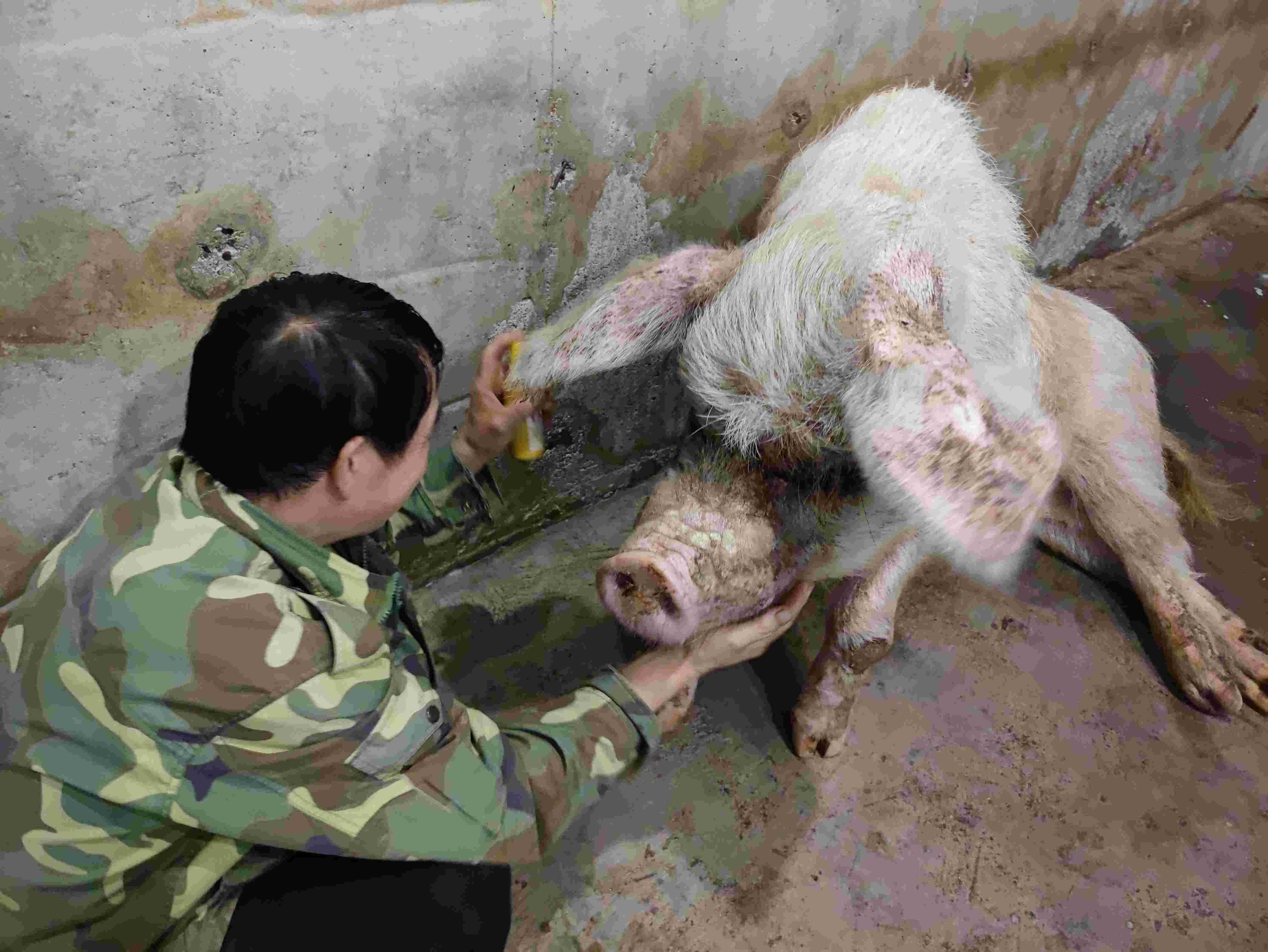 猪坚强去世,原主人:有不舍,但看到它自然死亡的心愿已实现