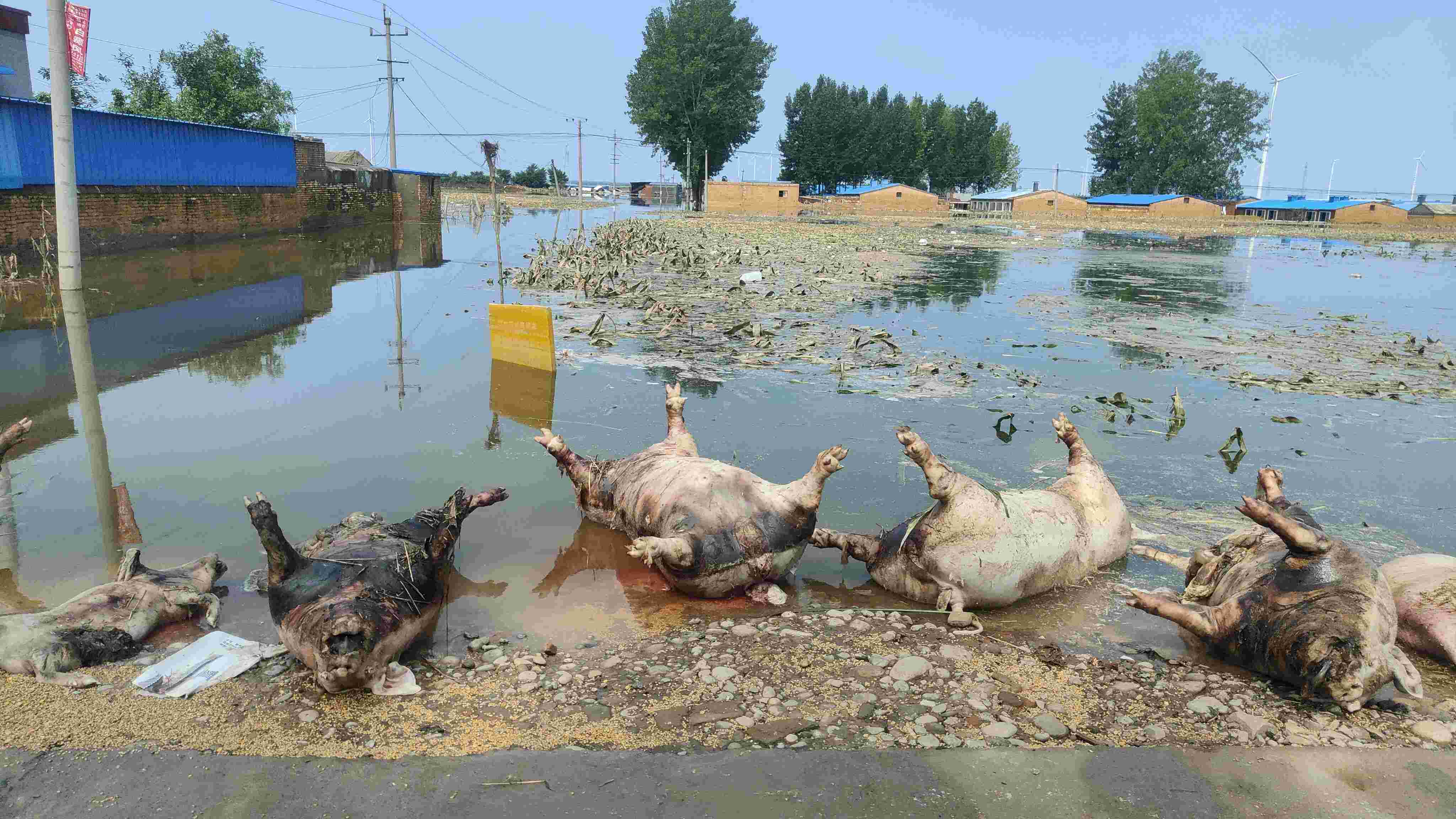 鹤壁淇县灾后重建:村民返家抢救麦子,政府组织统一处理动物尸体