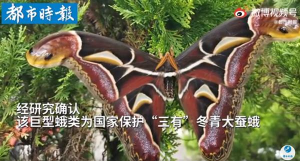 云南惊现蛇纹巨型飞蛾:翅膀顶端犹如两条大蛇